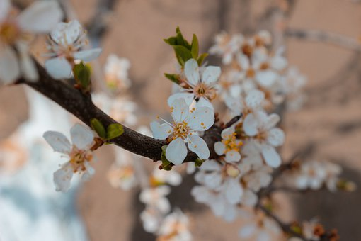 Cherry Blossoms, Flowers, Plum, Tree, White Flowers