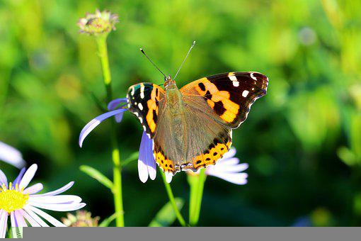 Small Fancy Butterfly, Vanessa Cardui, Painted Lady