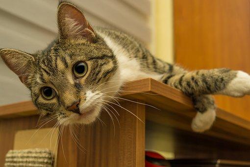 Cat, Whiskers, Pet, Animal, Tabby Cat, Domestic Cat