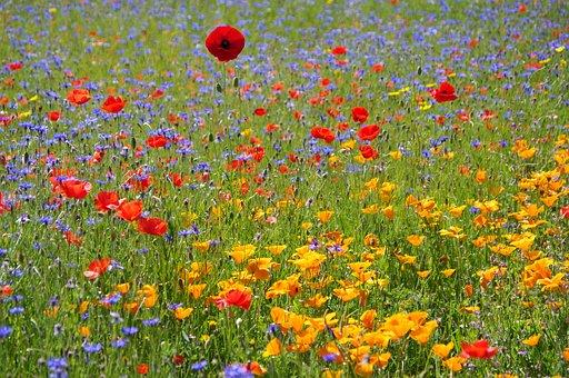 Poppies, Field, Meadow, Poppy Field, Wildflowers