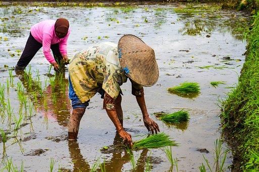 Rice, Farmer, Agriculture, Asia, People, Farmland
