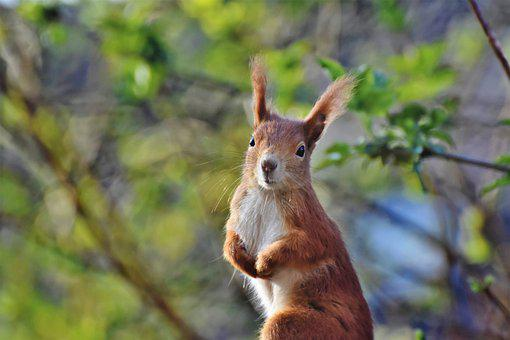 Squirrel, Rodent, Animal, Eurasian Red Squirrel