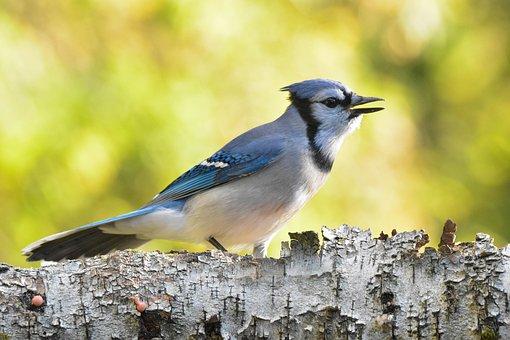 Bird, Blue Jay, Tree, Branch, Avian, Wildlife, Nature