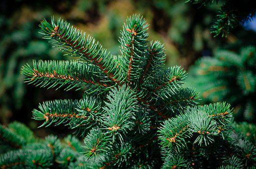 Pine, Spruce, Forest, Needles, Christmas Tree, Nature