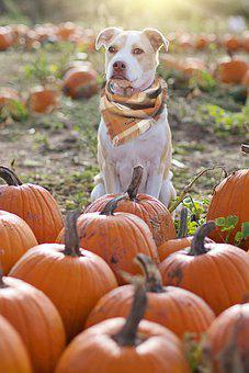 Dog, Pumpkins, Farm, Animal, Pet, Domestic Dog, Canine