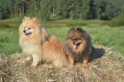 Dogs, Spitz, Canine, Pets, Domestic, Hay, Farm, Animals