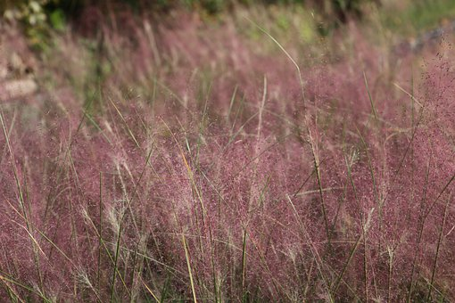 Grass, Muhly, Pink Muhly, Flowers, Field, Nature, Flora