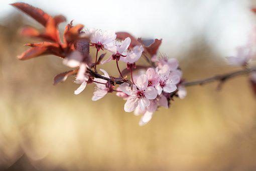 Nature, Flowers, Cherry Blossoms, Pink Flowers, Sakura