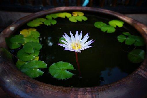 Lotus, Flower, Petals, Plant, Leaves, Water, Water Tank