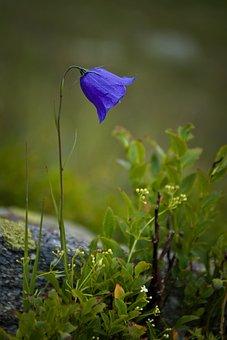 Nature, Plant, Flower, Harebell, Scottish Bluebell