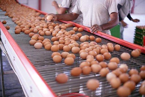 Eggs, Eggshells, Production, Quality, Organic