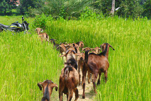 Goats, Flock, Pasture, Agriculture, Mammals, Animals