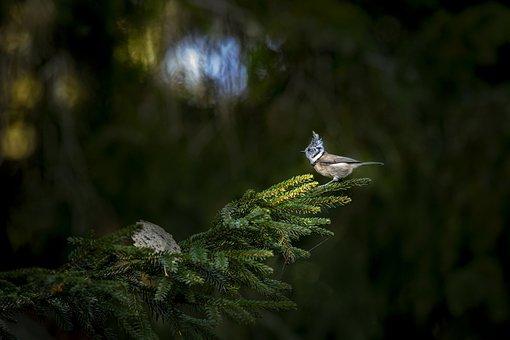 European Crested Tit, Bird, Perched, Fir, Conifer