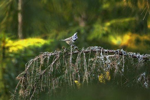 European Crested Tit, Bird, Perched, Perched Bird