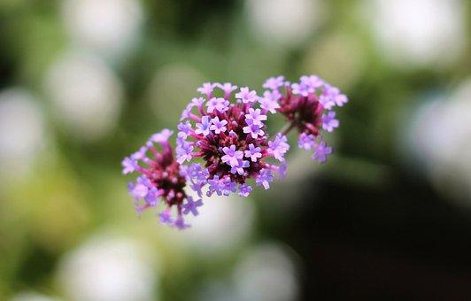 Flowers, Small Flowers, Purple Flowers, Florets