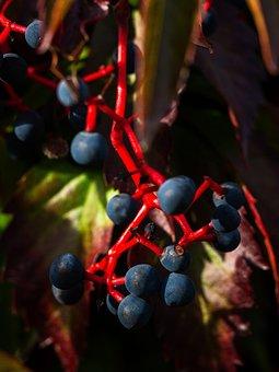 Virginia Creeper, Fruits, Plant, Victoria Creeper