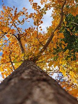 Autumn, Ginkgo Tree, Ginkgo Biloba, Tree Trunk