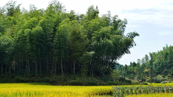 Bamboo Trees, Trees, Bamboo Forest, Grass, Forest