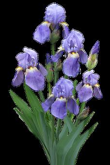 Purple Flowers, Iris, Flowers, Blossom, Bloom, Flora