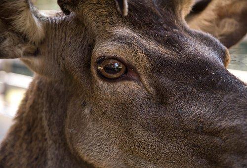 Deer, Roe, Eyes, Deer Eyes, Roe Deer, Close Up, Details