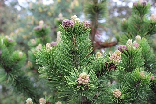 Larch, Conifer, Tree, Plant, Needles, Cones, Bloom