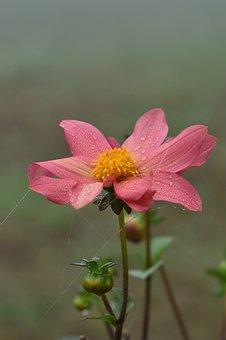 Dahlia, Morning Dew, Bloom, Flower, Blossom, Moist
