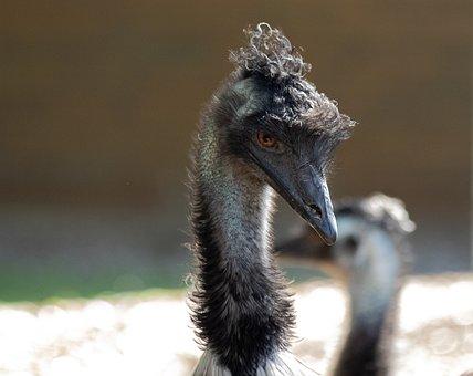 Emu, Bird, Animal, Animal World, Head, Emu Head, Bill