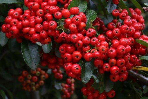 Pyracantha, Firethorns, Shrub, Cluster, Berries