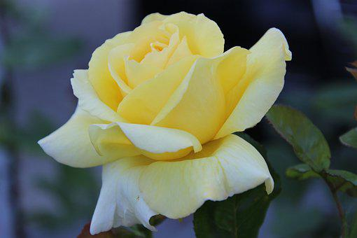 Plant, Flower, Rose, Yellow Rose, Blooming, Blossom
