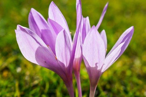 Crocus, Autumn Crocus, Flowers, Blossom, Bloom