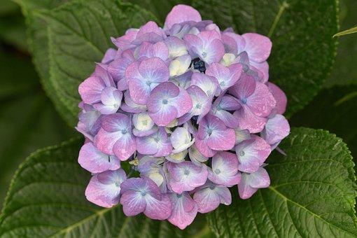 Hydrangeas, Flowers, Bloom, Flora, Purple Petals