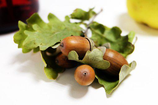Acorns, Oak, Leaves, Foliage, Autumn