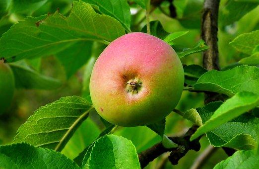 Apple, Fruit, Leaves, Foliage, Harvest, Produce