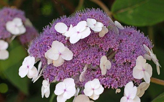 Hydrangea Aspera Macrophylla, Nature, Garden, Flowers