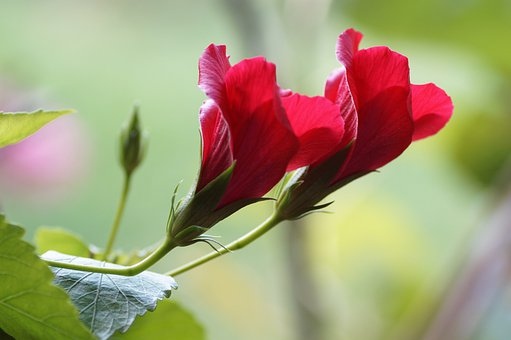 Garden, Flowers, Petals, Red Flowers, Hibiscus, Bloom