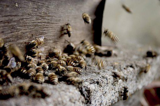Bees, Beekeeping, Insects, Honey Bees, Honeycomb