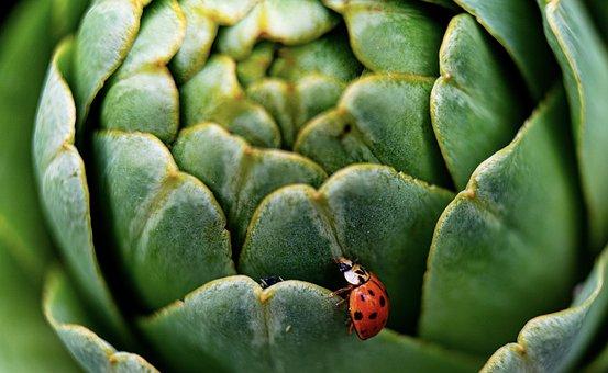 Nature, Artichoke, Ladybug, Ladybird Beetle, Beetle
