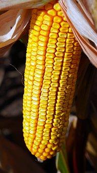 Corn, Corncob, Food, Corn Kernels, Cereal Grain, Maize