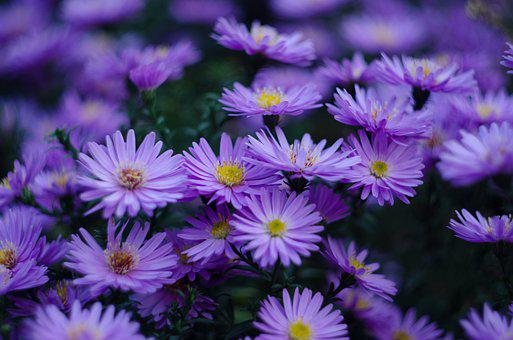 Nature, Garden, Flowers, Asters