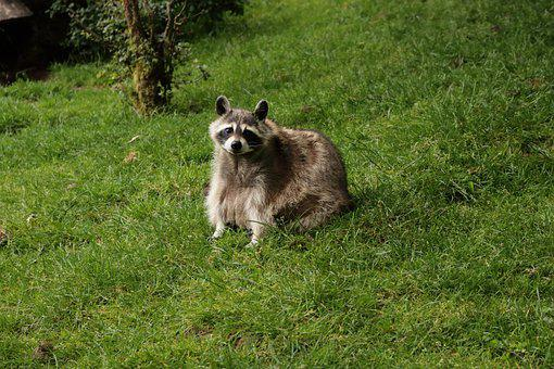 Nature, Animal, Raccoon, Mammal, Wild Animal, Wildlife