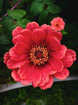 Garden, Flower, Petals, Zinnia, Bloom, Blossom