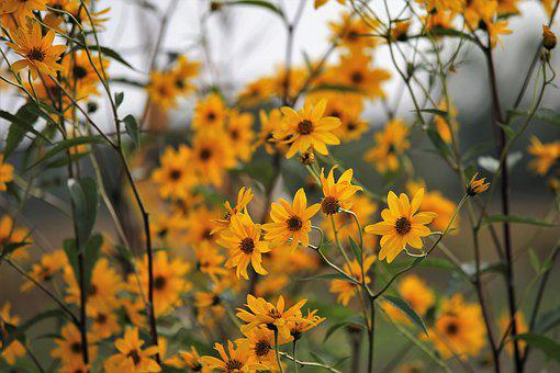 Nature, Plant, Flowers, Arnica, Yellow Flowers