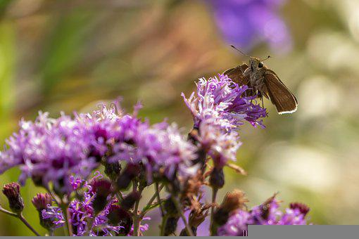 Butterfly, Lavenders, Pollinate, Pollination