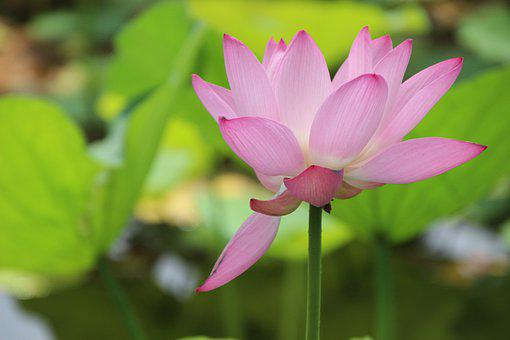 Lotus Flower, Water Lily, Lotus Leaves, Pond