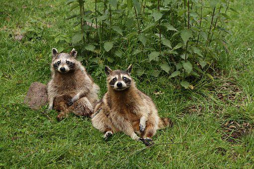 Nature, Animals, Raccoons, Mammals, Wild Animals
