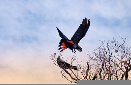 Nature, Cockatoo, Flying, Red-tailed Black Cockatoo