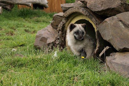 Nature, Animal, Arctic Fox, Snow Fox, White Fox