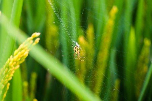 Rice Field, Spider, Web, Spiderweb, Cobweb, Arachnid