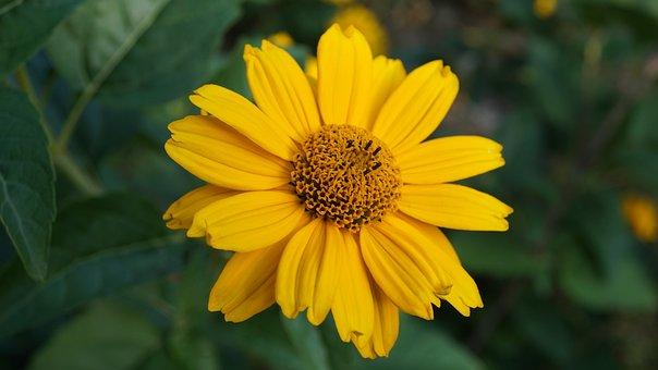 Sun Eye, Summersun, Yellow Flower, Garden, Flowers