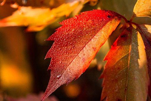 Autumn, Foliage, Leaves, Dew, Dew Drops, Moist, Wet